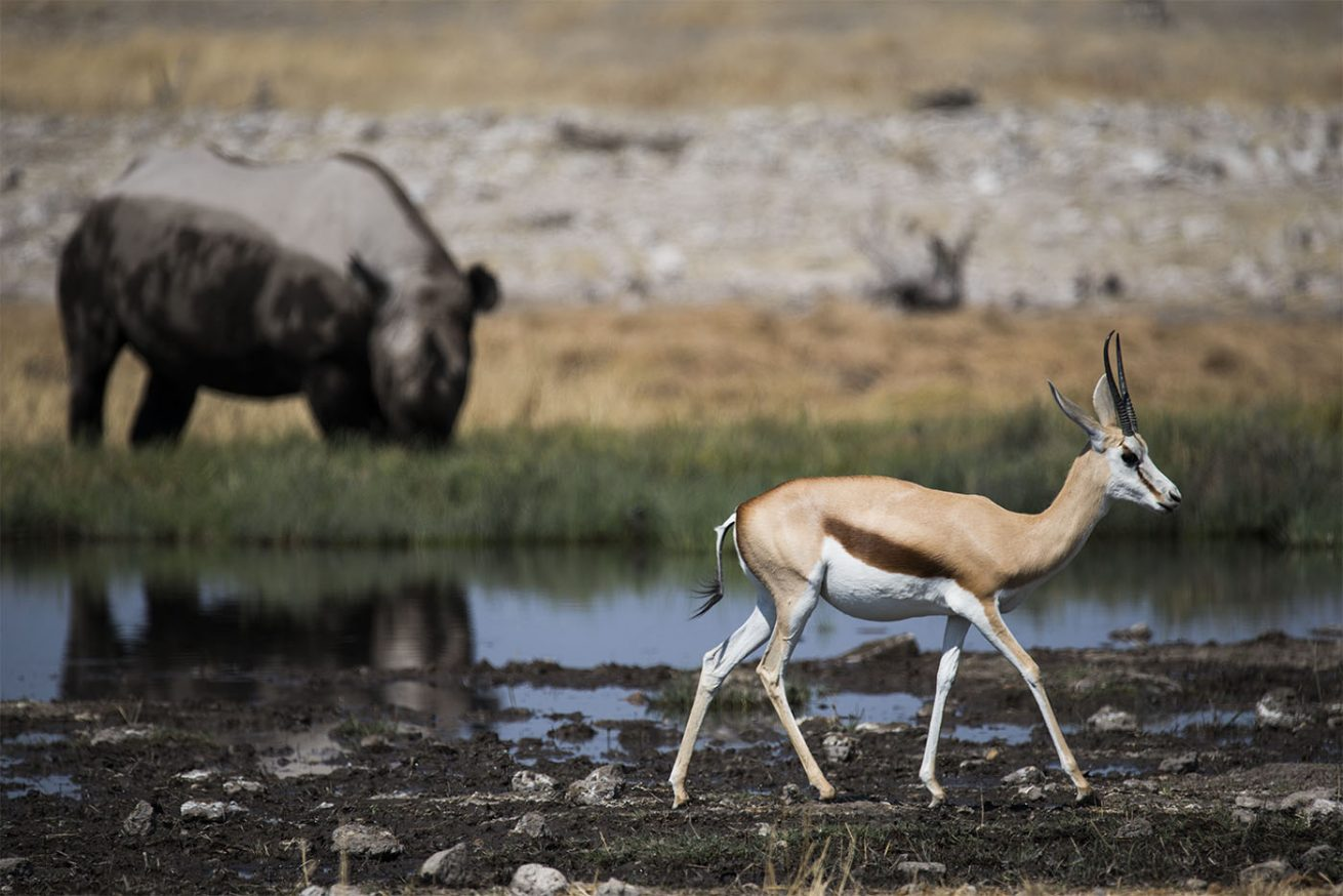 Springbok & Rhino
